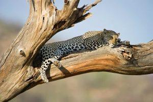 Leopard almost asleep yet alert