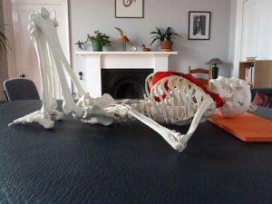 Model skeleton demonstrating the position for Alexander Technique lie-down practice