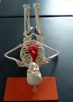 Model skeleton in the Alexander active rest position